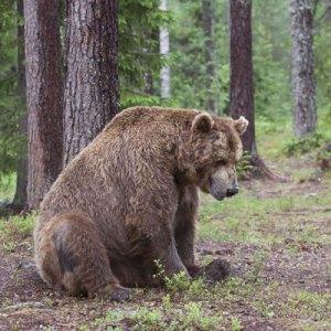 Uitgeputte beer in bos.