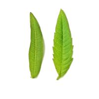 Verschillen in het blad van de citroenverbena.