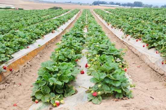 strawberry farming in kenya