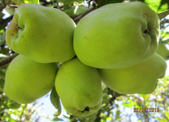 Wambugu apples in Kenya