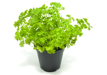 planting-parsley_hp.png