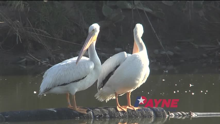 Outdoor Report- American White Pelicans_32544193