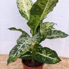 Kamerplanten 30 - 100 cm
