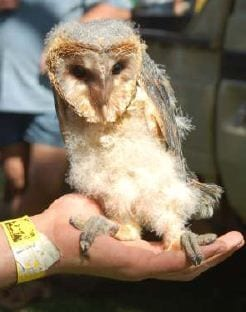 Barn owls, in the process of being rehabilitated, could be viewed during the Thabazimbi Expo. The owl demonstrations were presented by Ecosolutions, an owl rehabilitation centre in Broederstroom.