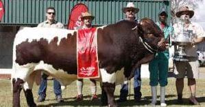 Bul Sir Ramkat  05B 118 (Zet Zet Twee Pinzgauer Stoet) wat as die Opperste Kampioen Dubbeldoel dier bekroon was by die Bloemfontein skou.