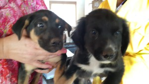 7-8 week old Alsatian and sheepdog puppies is up for adoption. Please call Tania at  084 885 6487.