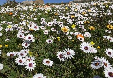 Blomme-seisoen in die Weskus Nasionale Park