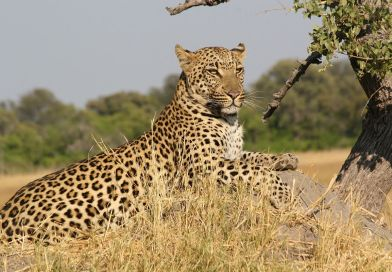 By 2020 no more leopards in Soutpansberg Mountains
