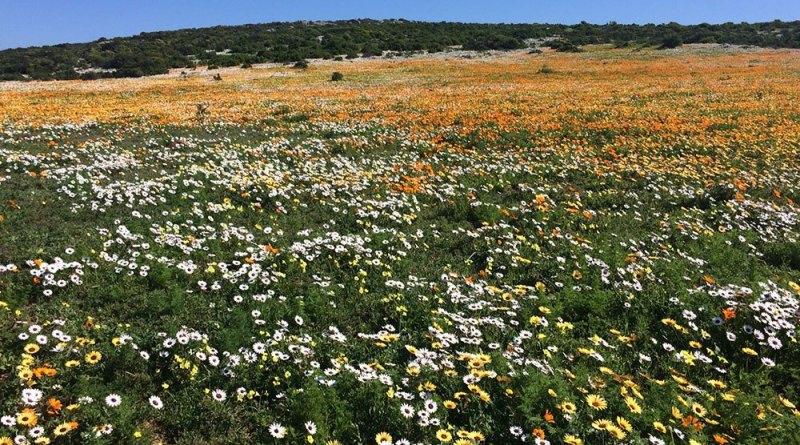 1 Sept Postberg-Flowers-3