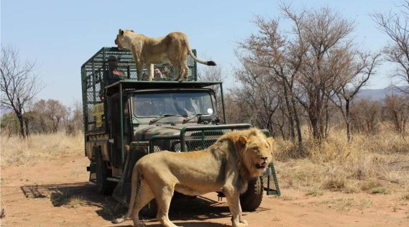 Lion Mobile
