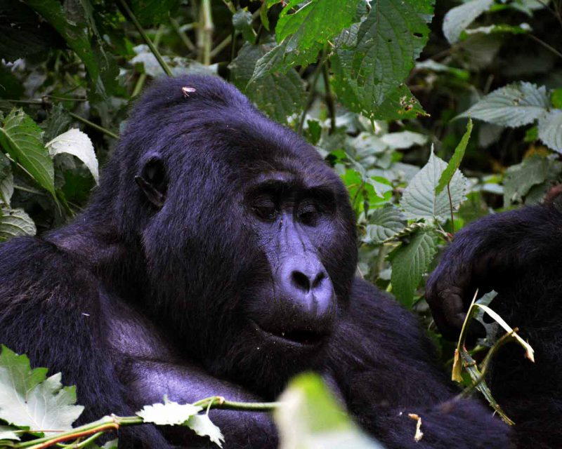 A mountain gorilla silverback in Bwindi Impenetrable National Park