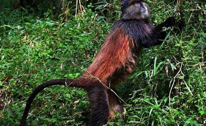 Golden monkeys found in Mgahinga Gorilla National Park in Uganda