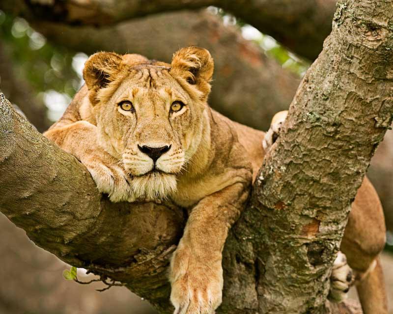 The iconic tree-climbing+lions of Ishasha+Uganda+travel_with+Kwezi+Outdoors