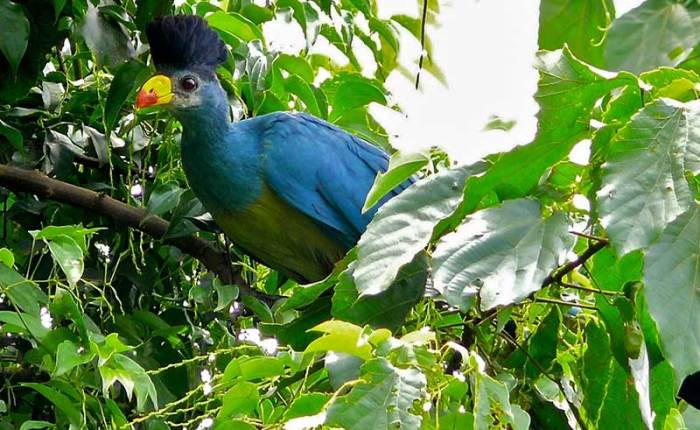 Great Blue Turaco one of the over 1,000 bird species in+Uganda+travel_with+Kwez+Outdoors