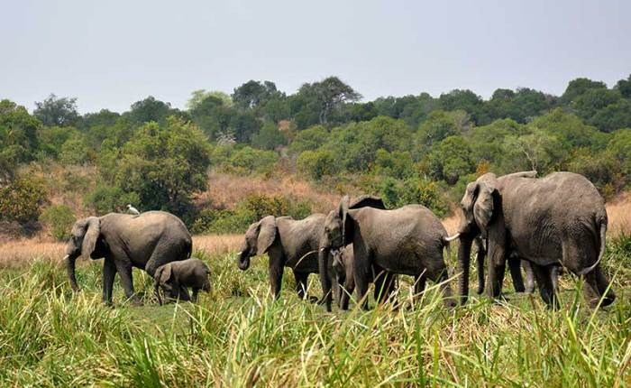 A family of elephants along the Nile in Murchison Falls National Park - travel with Kwezi Outdoors