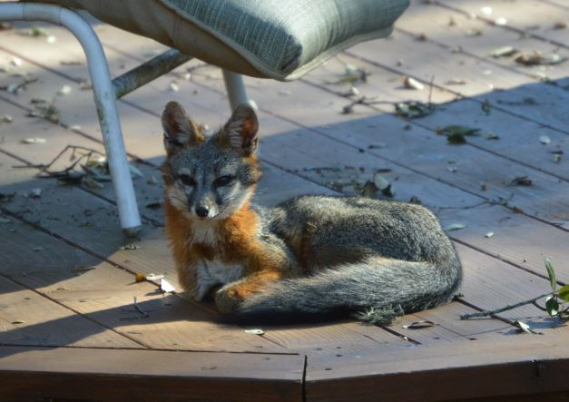File photo of a fox in Austin (Carlos Higgins photo)_239823