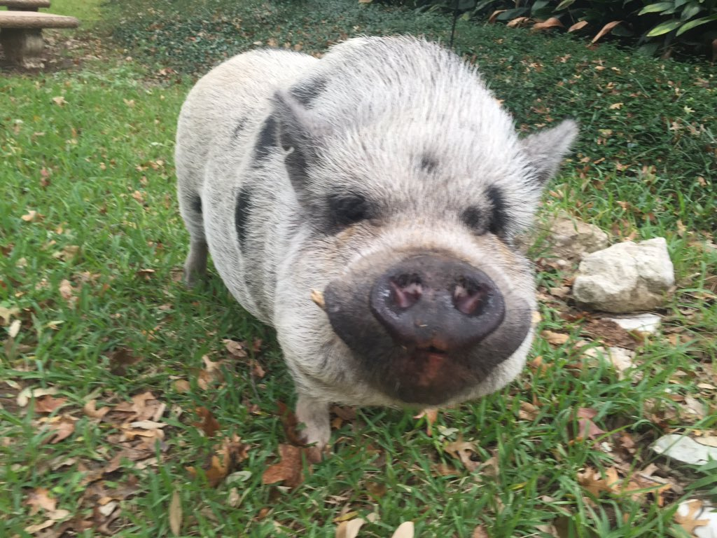 Rollingwood pig_207539