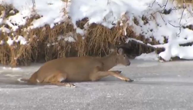Deer chased on to ice rescued in Connecticut (NBC News photo)_397288