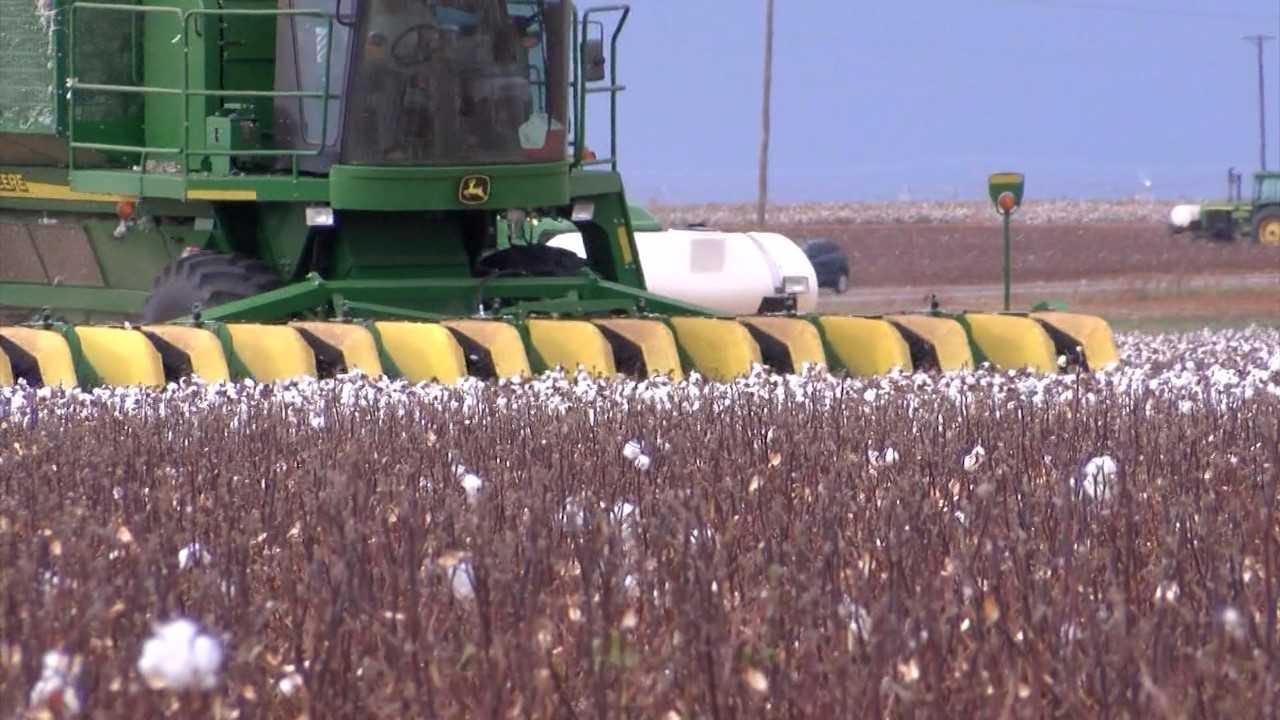 Texas cotton field_539920