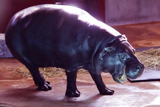 Hippopotamus For Christmas_597107