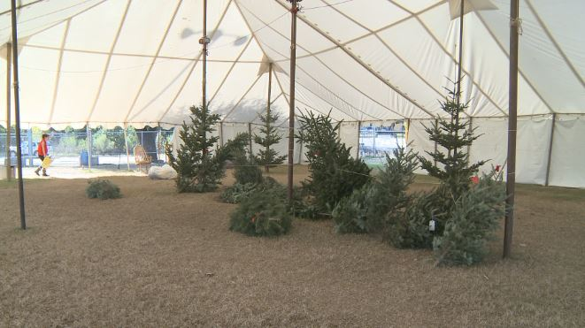 christmas trees_602371