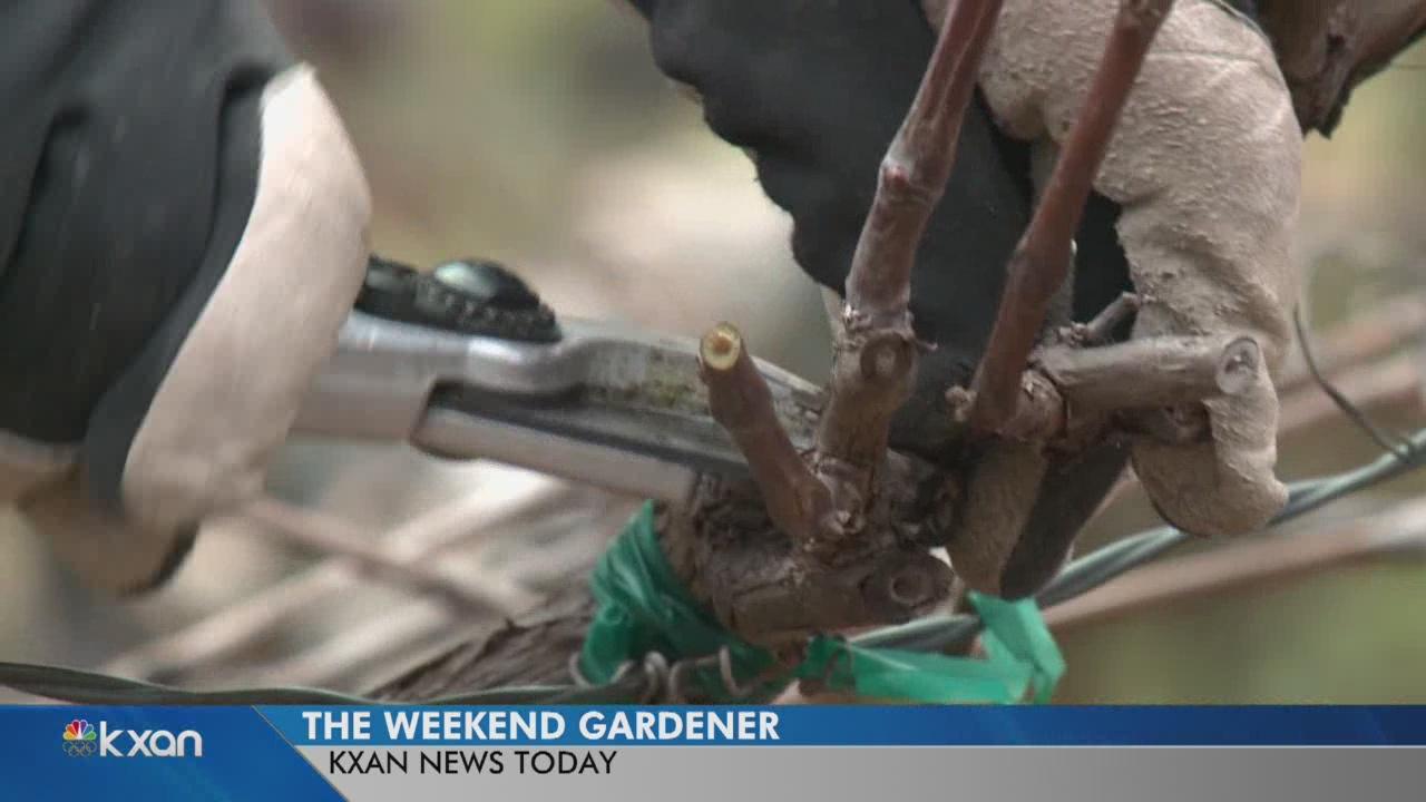Weekend Gardener: How to grow your best grapes