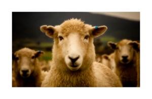 sheep-nz1