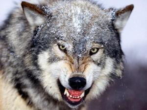 1Snarling_Gray_Wolf-med