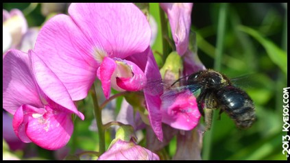 Macro shot of a beautiful blue bumble bee near to land on a pink flower by Kyesos