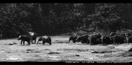 Elephants from Sri Lanka going from the jungle to the river
