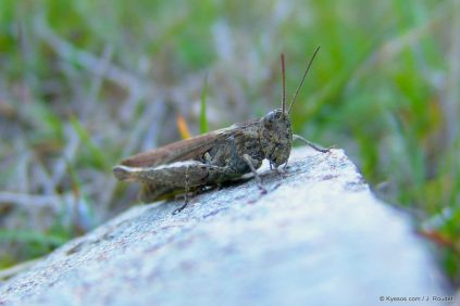 grass hopper close up by kyesos