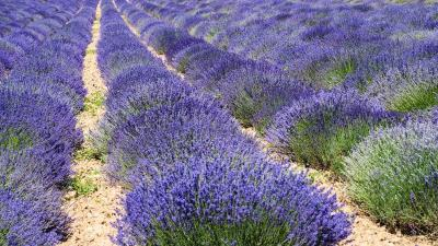 5 benefits of lavender oil - one of the most versatile essential oils