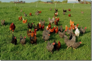 organic farm chickens