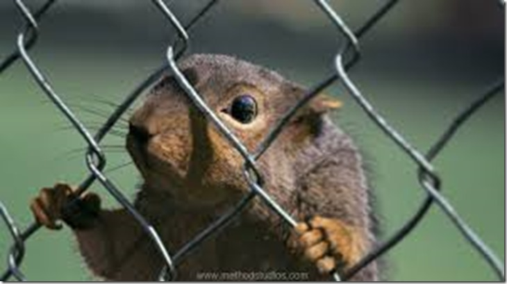 fenced squirrel