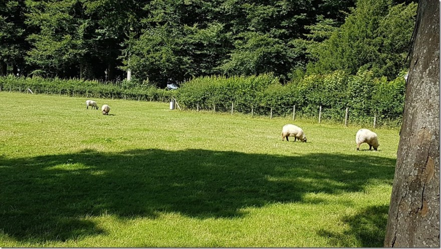 Sheep at St. Fagans