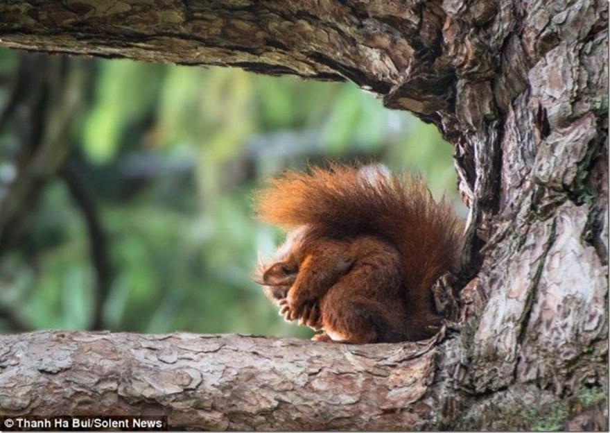 Sad red squirrel