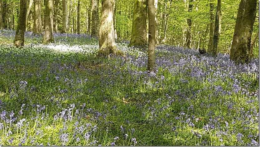 Bluebell woods 8