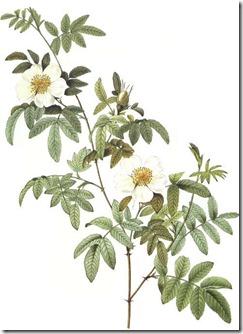 Rosa_clinophylla