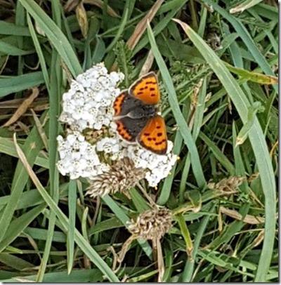 butterfly in pembrokeshire