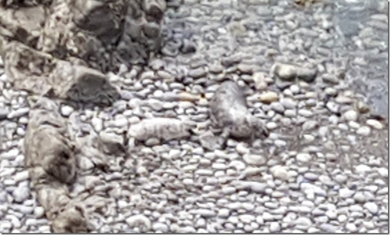 seal pup and mother in Pembrokeshire