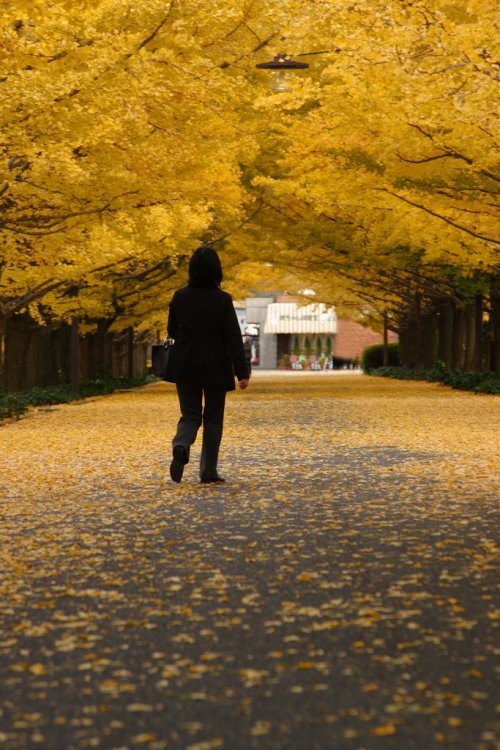 Ginkgo_Trees_in_Autumn_Japan