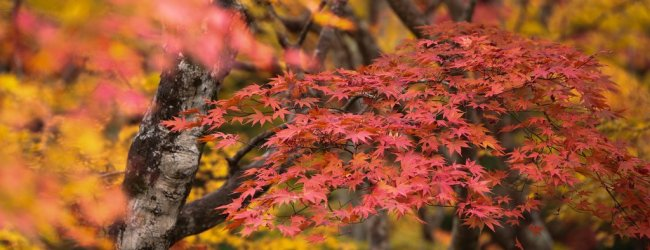 Colorful Autumn Leaves (Koyo) in Japan | Fall Season 2018