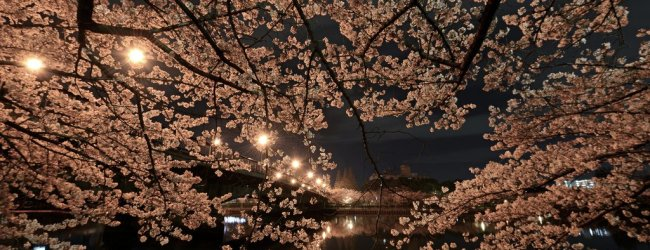 Yozakura: The Night Sakura in Japan