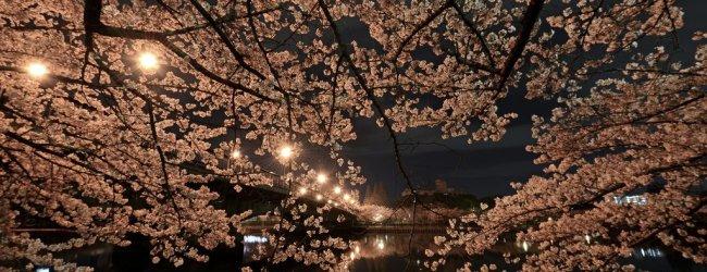 Yozakura: The Night Sakura in Japan