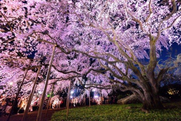 Weeping Cherry Tree at Rikugien Garden in Tokyo, Yozakura