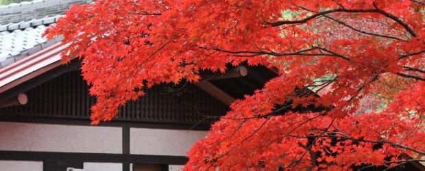 Autumn Leaves on Miyajima Island 2020
