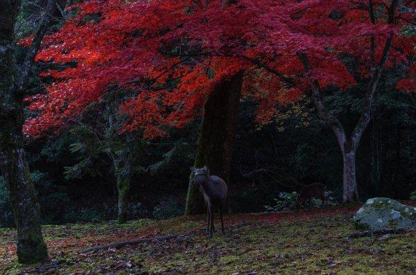 wild_deer_and_autumn_leaves_miyajma