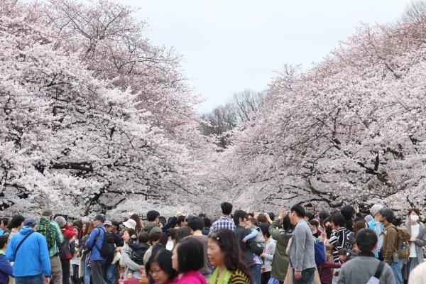 ueno_park_sakura_tokyo