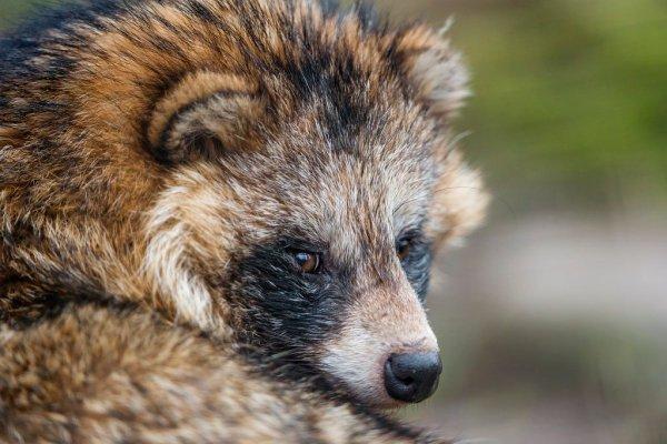 Raccoon_Dog_Tanuki