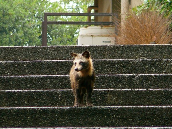 Tanuki_Japanese_Raccoon_Dog_in_Chugoku_Japan